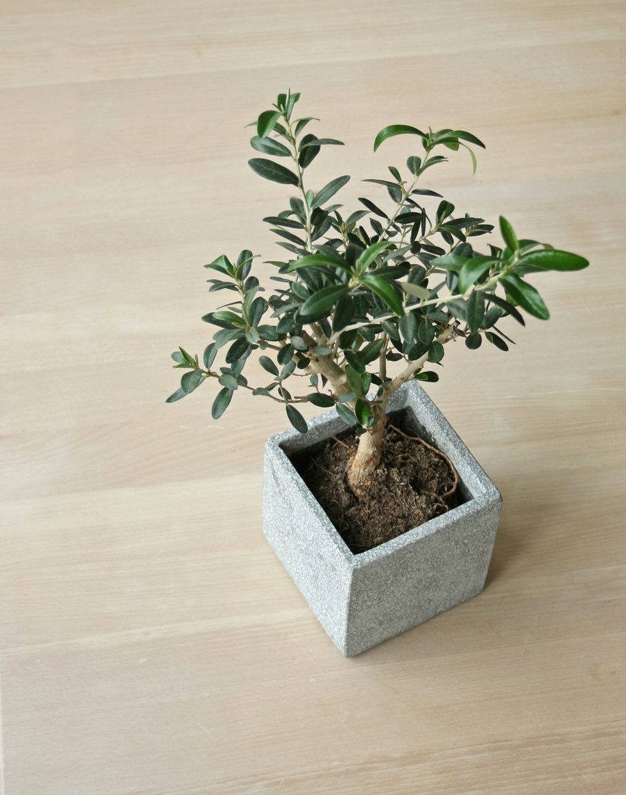 Indoor Olive Trees Caring For Olive Trees Inside