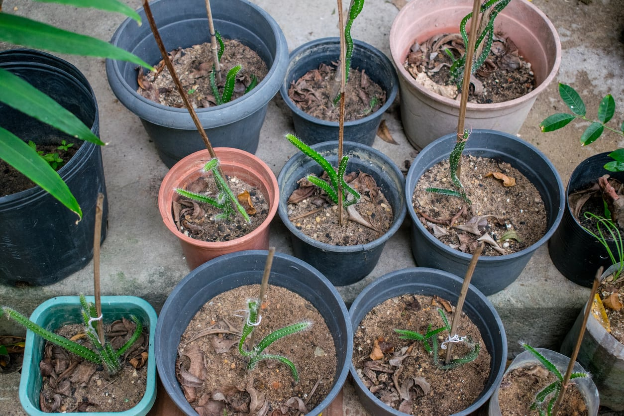 Dragon Fruit Propagation Methods How To Propagate Pitaya Plants