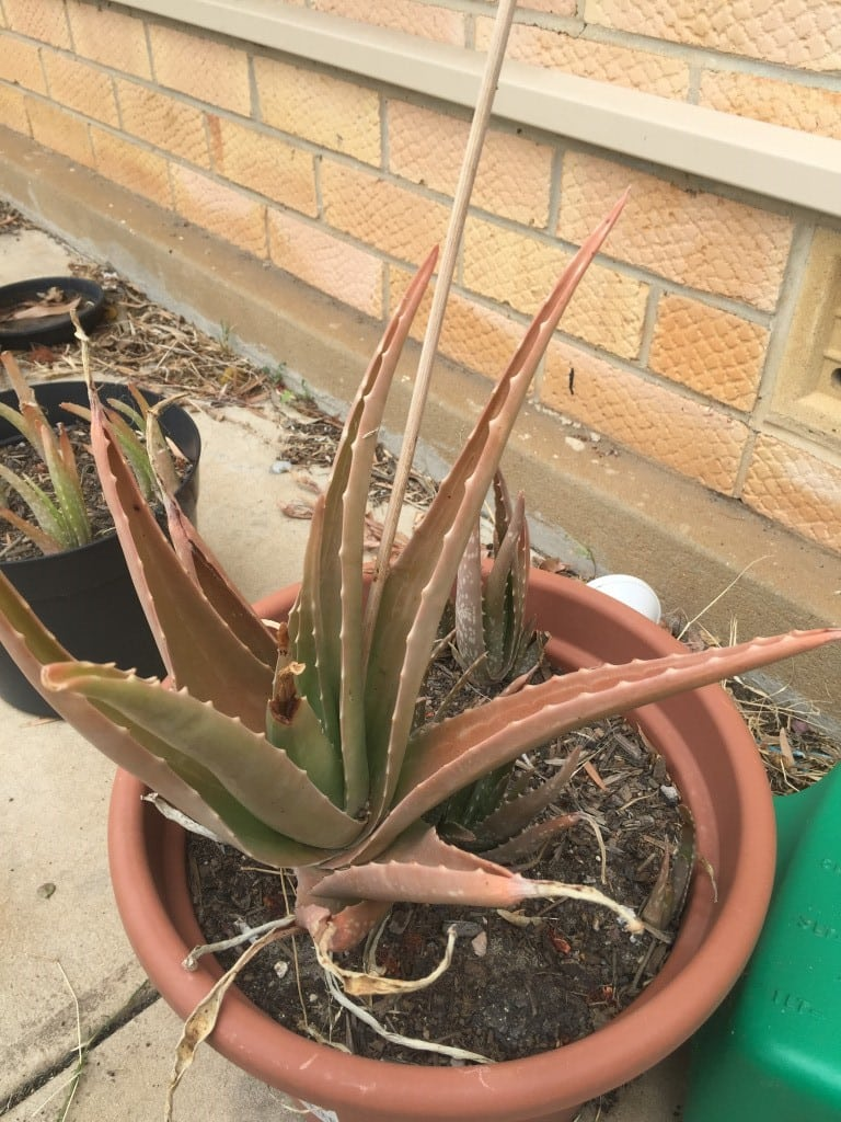 Why Aloe Is Wilting And Browning What Causes A Brown Aloe Vera Plant
