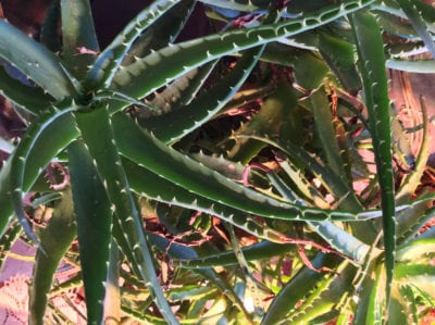 Problems With Flopping Aloe Leaves What To Do When Your Aloe Is