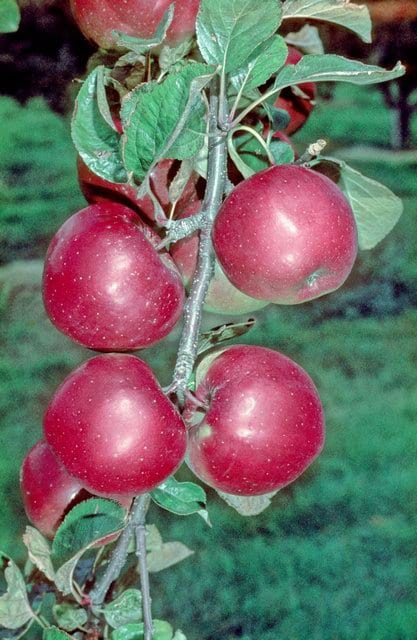 What Are Northern Spy Apples - Learn About Northern Spy Growing ...