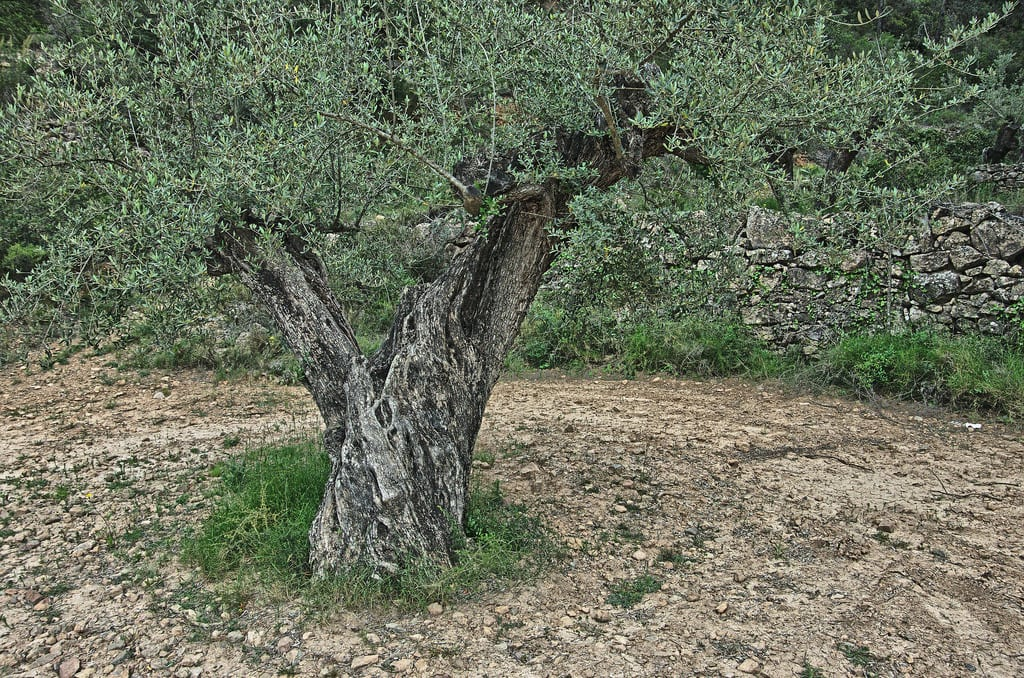 Menu For Olive Garden: What To Do About An Olive Tree With