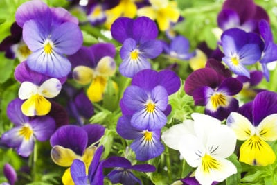 Pansies Not Flowering What To Do When Your Pansies Wont Bloom
