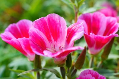 What Is A Godetia Plant Learn About Clarkia Flowers In The Garden