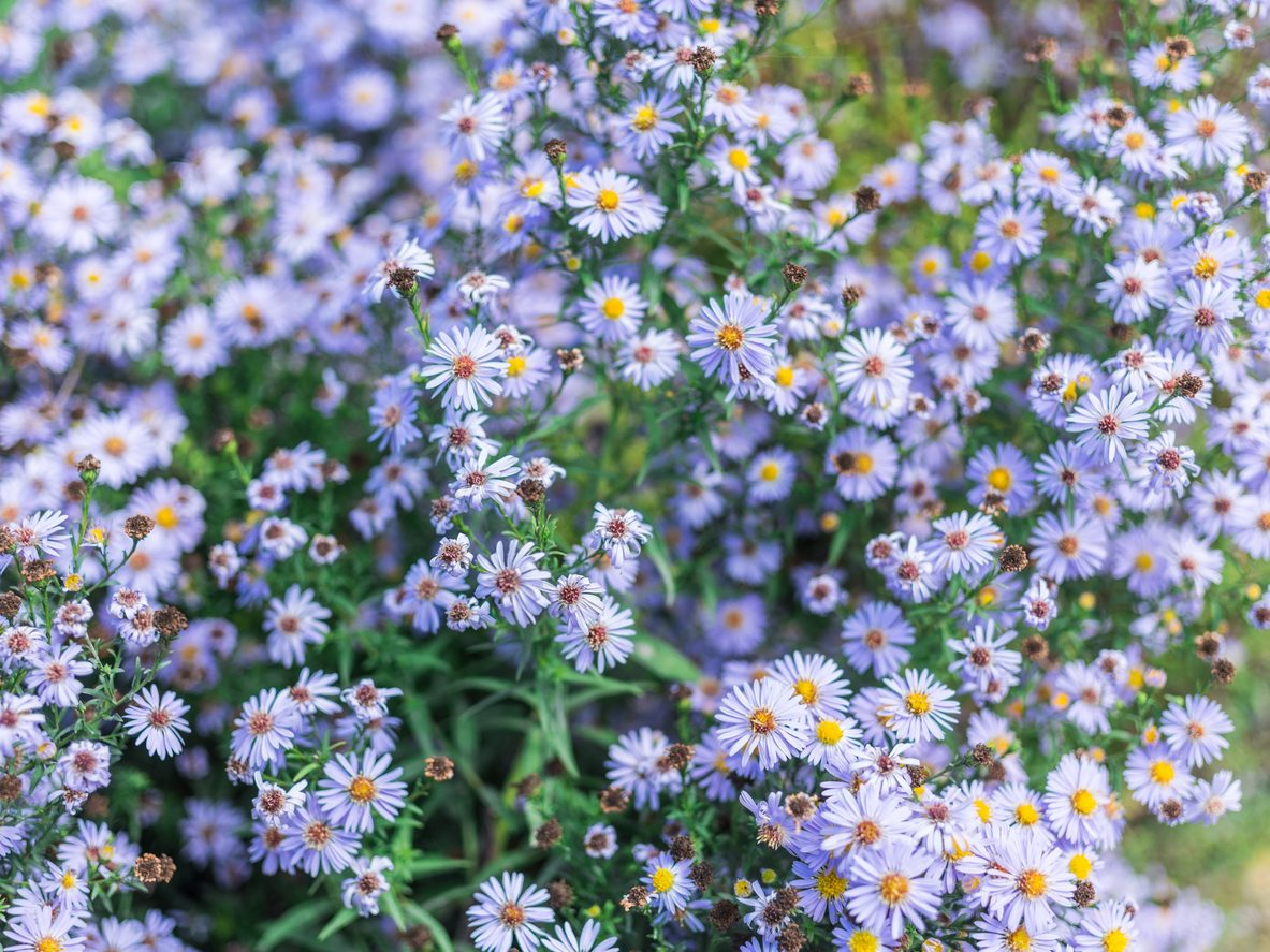 Growing Blue Aster Flowers Popular Types Of Blue Aster Plants