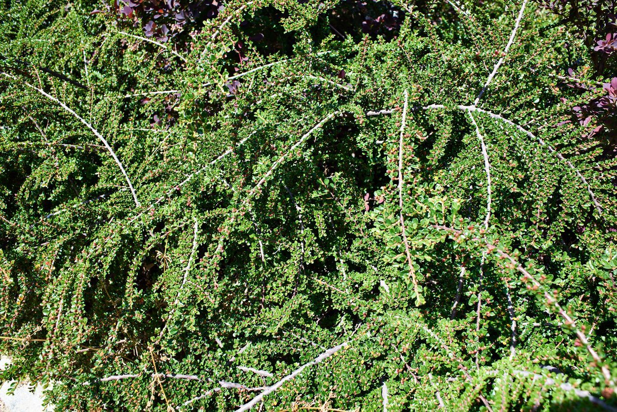 Cutting Back Cotoneaster Branches Learn How To Prune Cotoneaster Plants