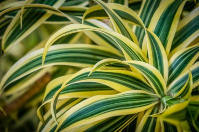 Types Of Dracaena Learn About Diffe Plants
