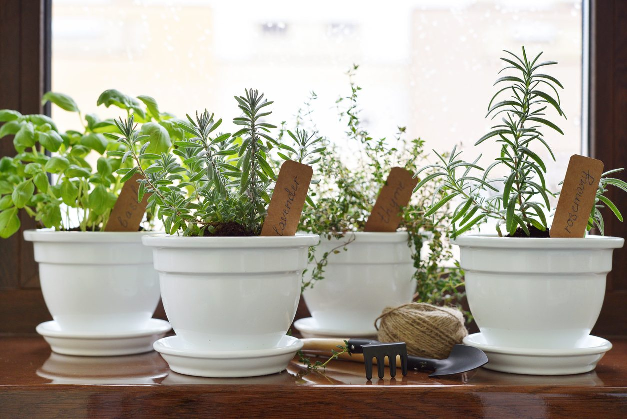 Growing herbs in a porcelain planter