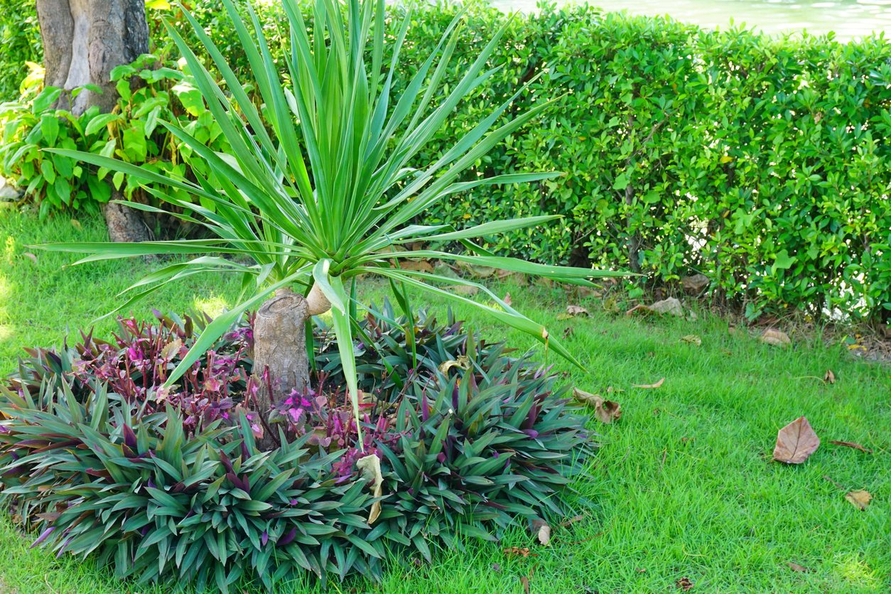 Planting Dracaena In The Landscape Caring For Outdoor Dracaena Plants