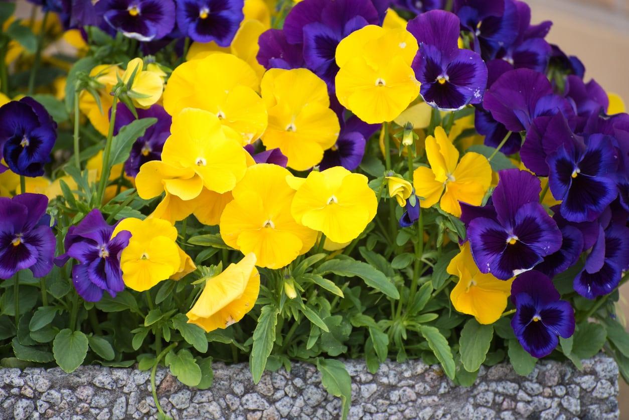 Do Pansies Bloom In Summer Or Winter