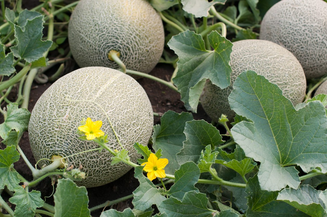 Melons For Zone 5 Gardens Choosing Short Summer Melon Plants Cantaloupe, also known as muskmelon (in the usa) or rockmelon (in australia) is a flowering plant that belongs to the pumpkin family. melons for zone 5 gardens choosing