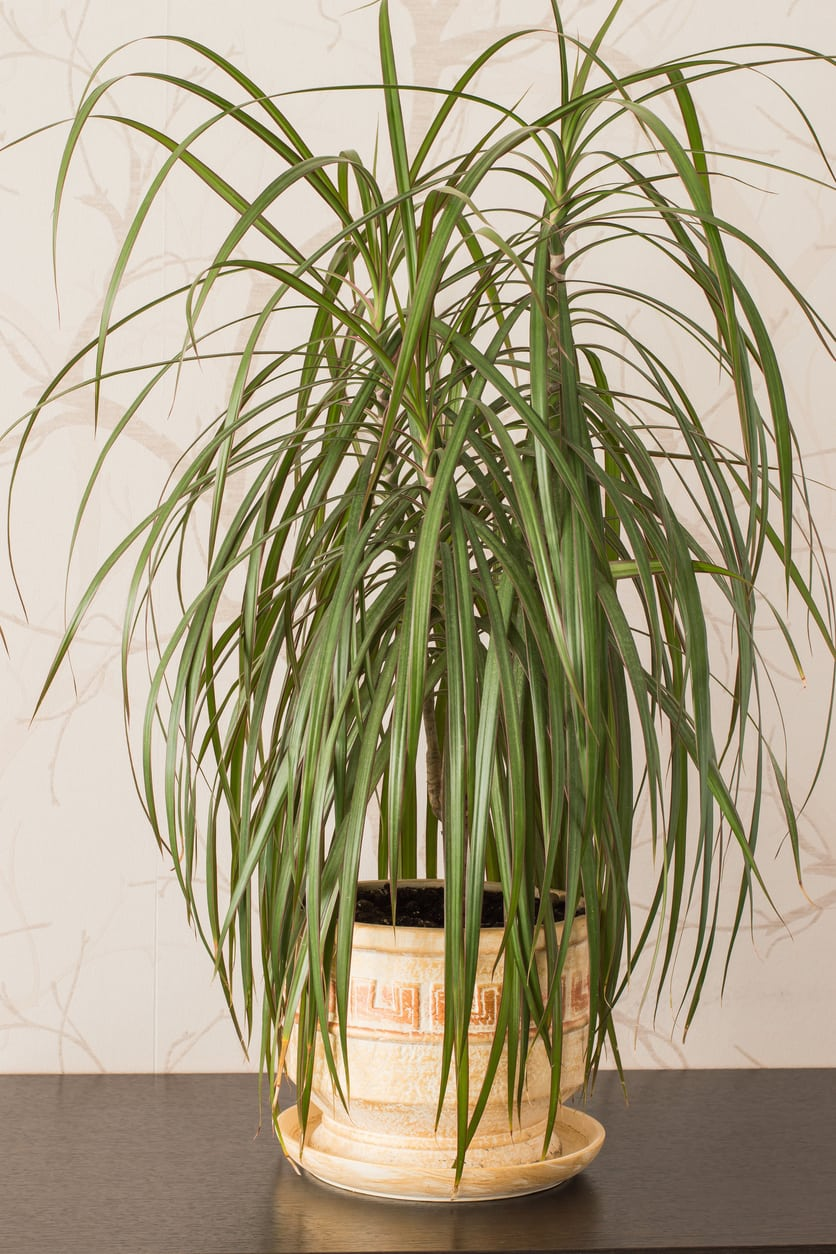 Dracaena Yucca House Plant on yucca nursery, yucca vine, yucca top view, yucca tips, yucca blooms, yucca elephantipes care, yucca cane leaves turning yellow, yucca garden, yucca perennial, yucca plant uses, yucca indoor plant,