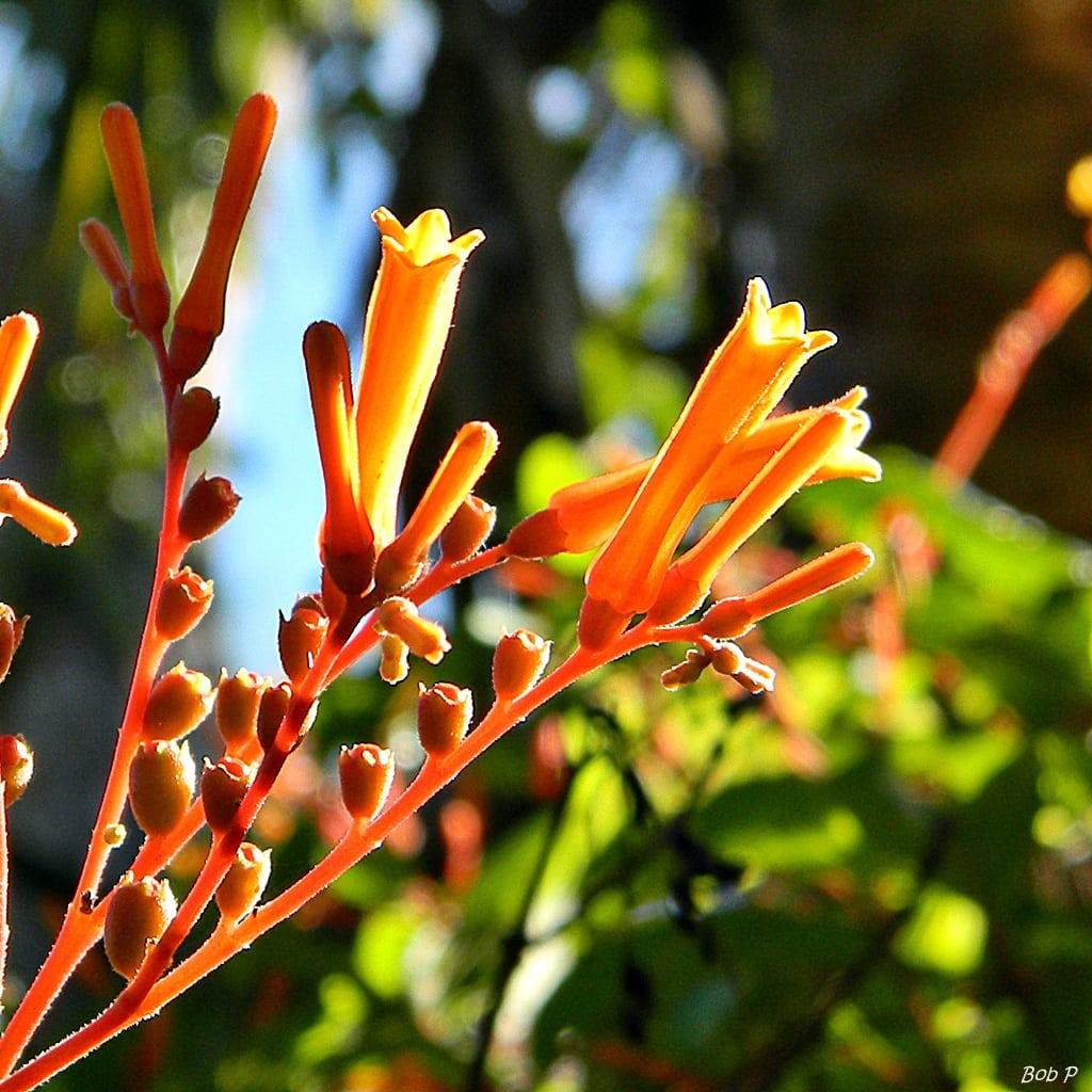 Garden Bush: Cuttings From A Firebush Shrub