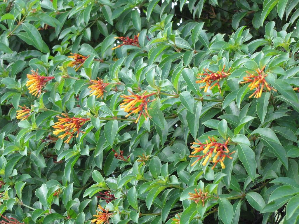 Garden Bush: Transplanting A Firebush: Learn When To Transplant
