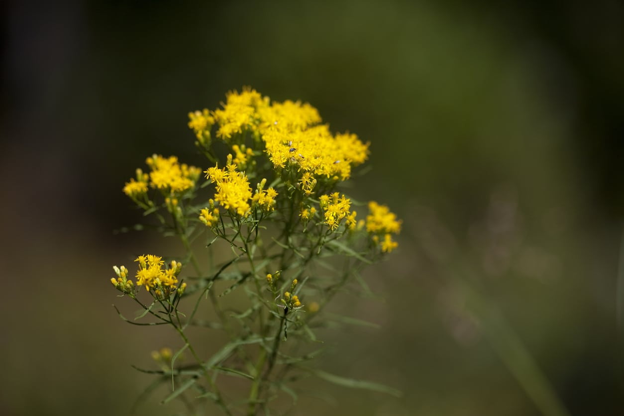 What Is Flat Top Goldenrod Tips For Growing Grass Leaved