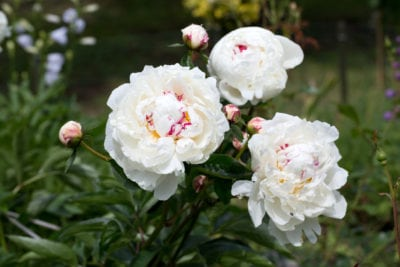 Growing White Peony Plants Choosing White Peony Flowers For The Garden