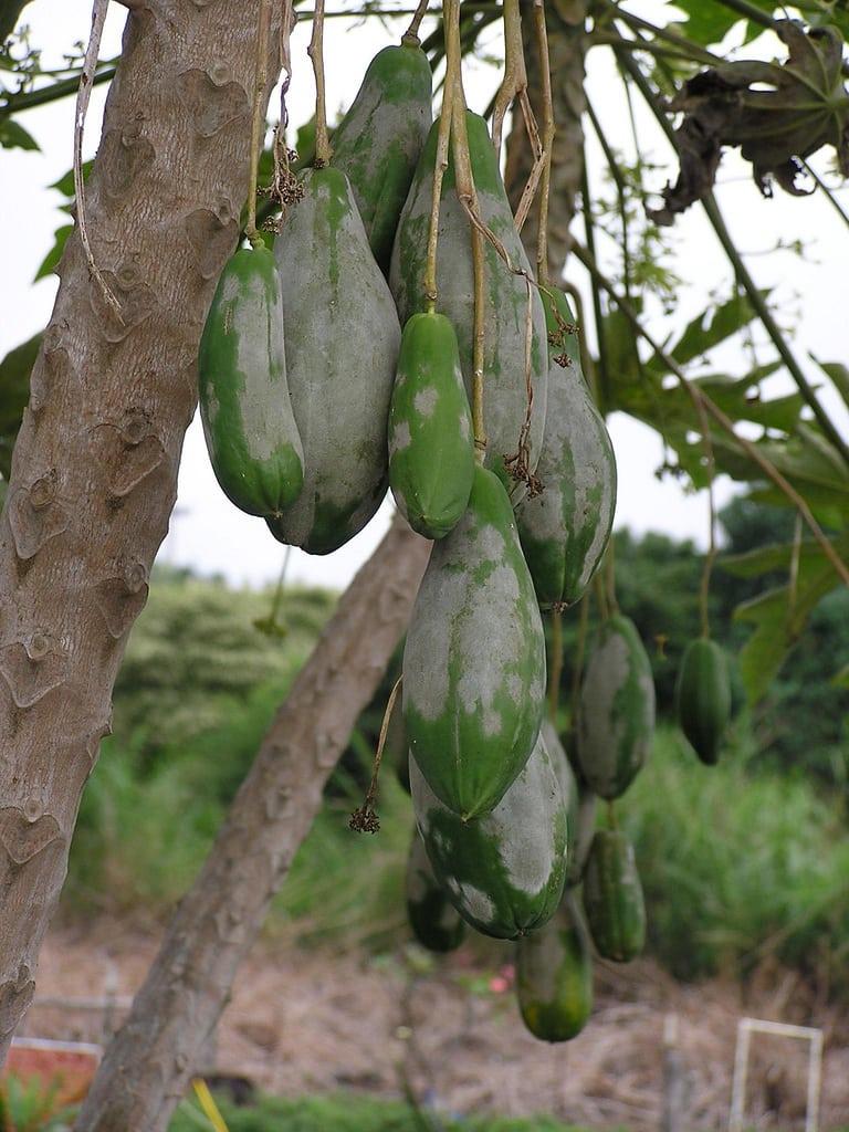 Fruit Trees With Powdery Mildew How To Treat Powdery