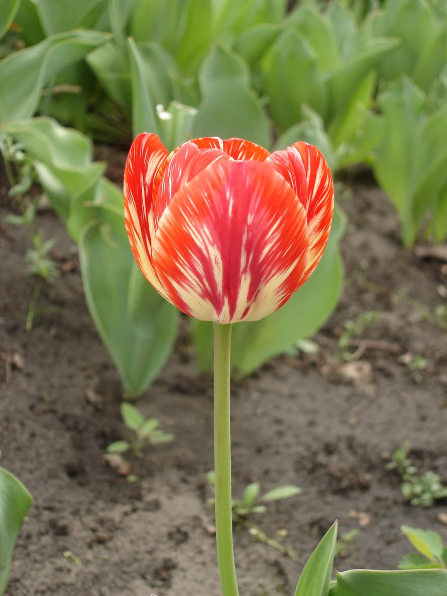What Are Rembrandt Tulips Learn About Rembrandt Tulip History