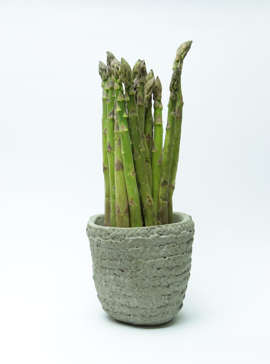 "Picture of 2 (TWO) Live Asparagus aka Asparagus officinalis Vegetables Plant Fit 4"" Pot"