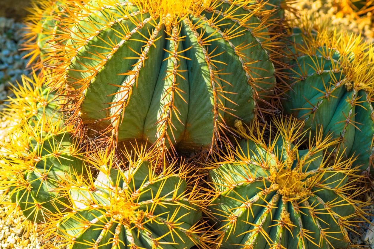 Blue Barrel Cactus Info Learn How To Grow A Blue Barrel Cactus