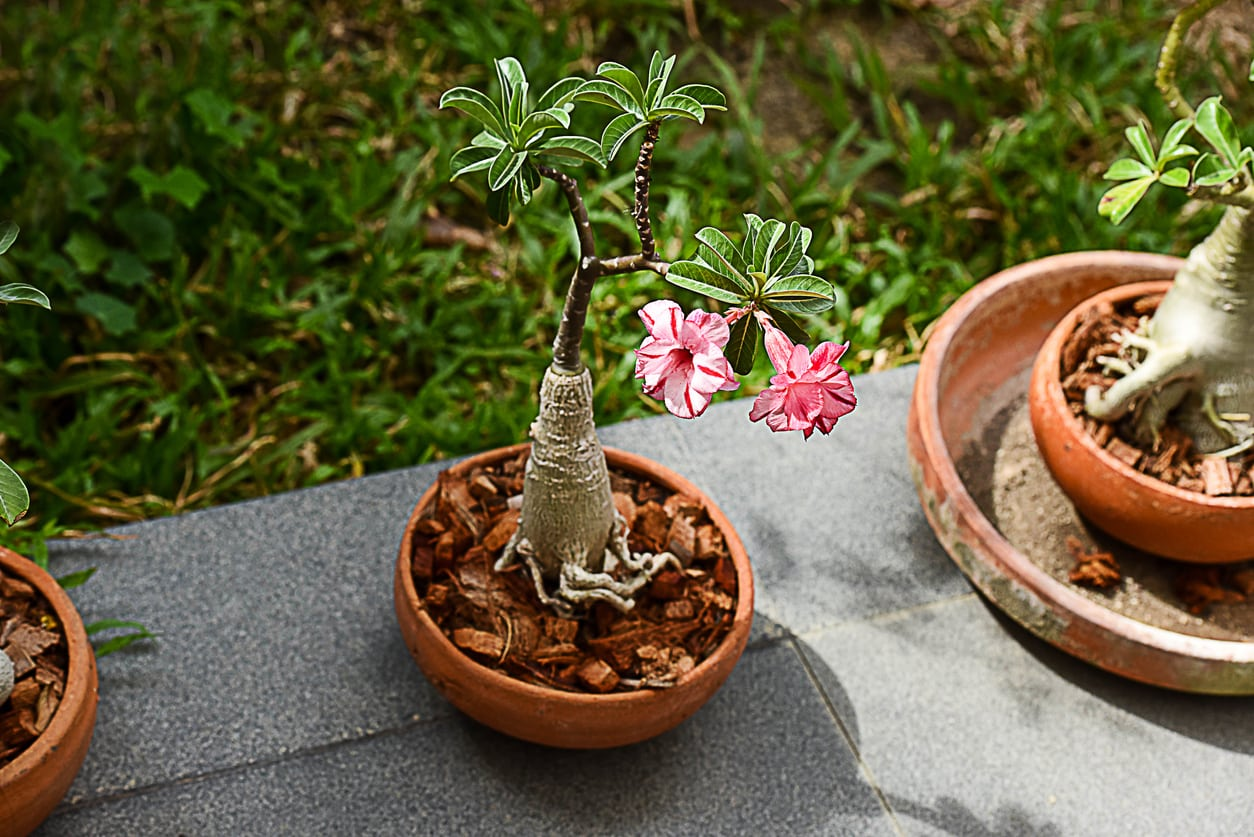 Trimming Desert Rose Plants Learn About Desert Rose Pruning Techniques