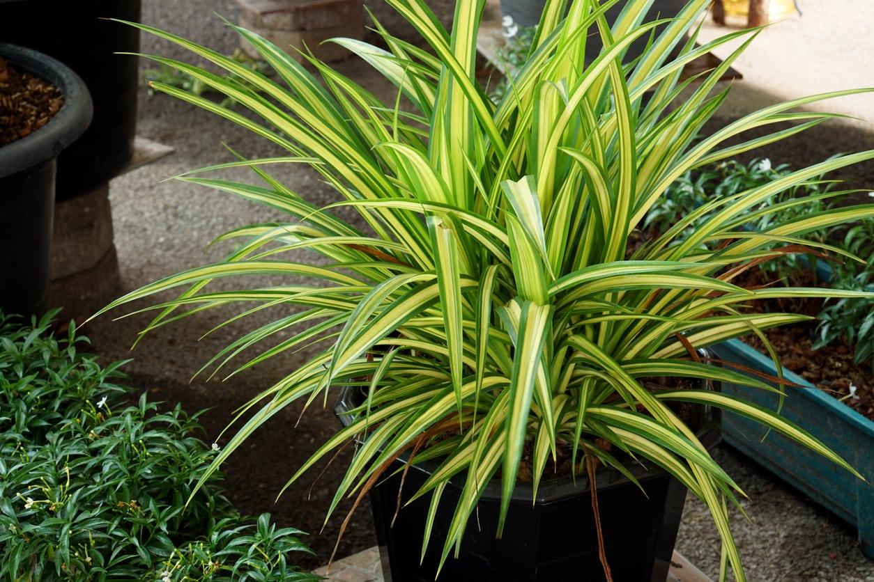 Garden Bush: Dracaena Fertilizer Needs: When To Feed A Dracaena Plant