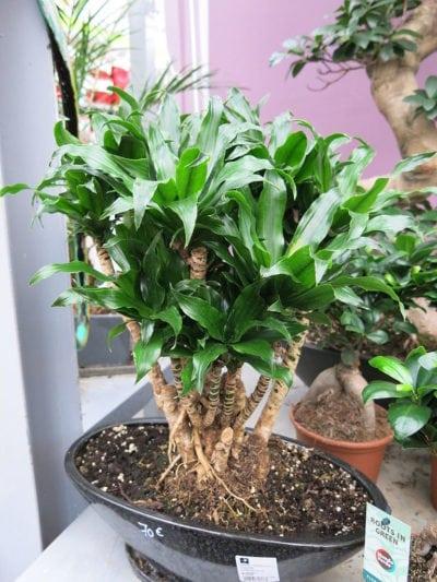 Bonsai Dracaena Training How To Make A Dracaena Bonsai Tree
