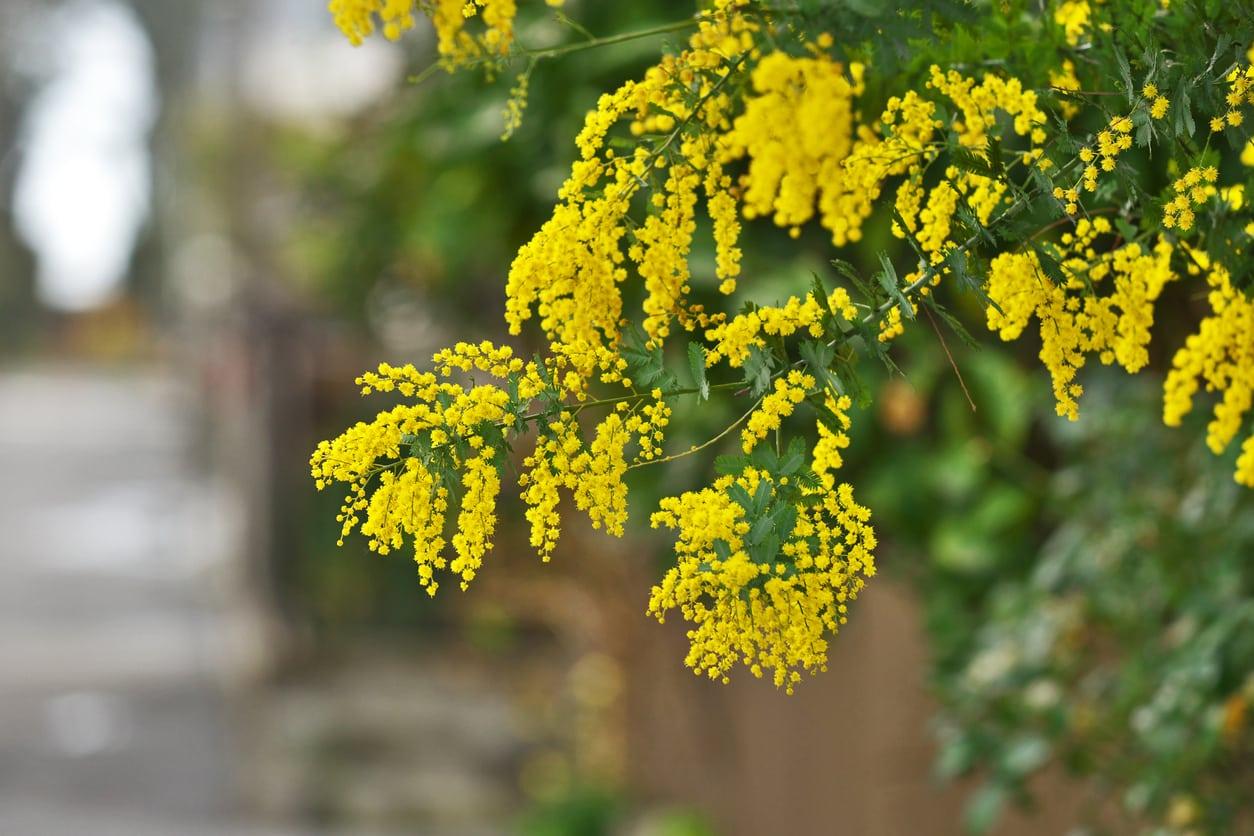 Factsheet - Acacia aphylla