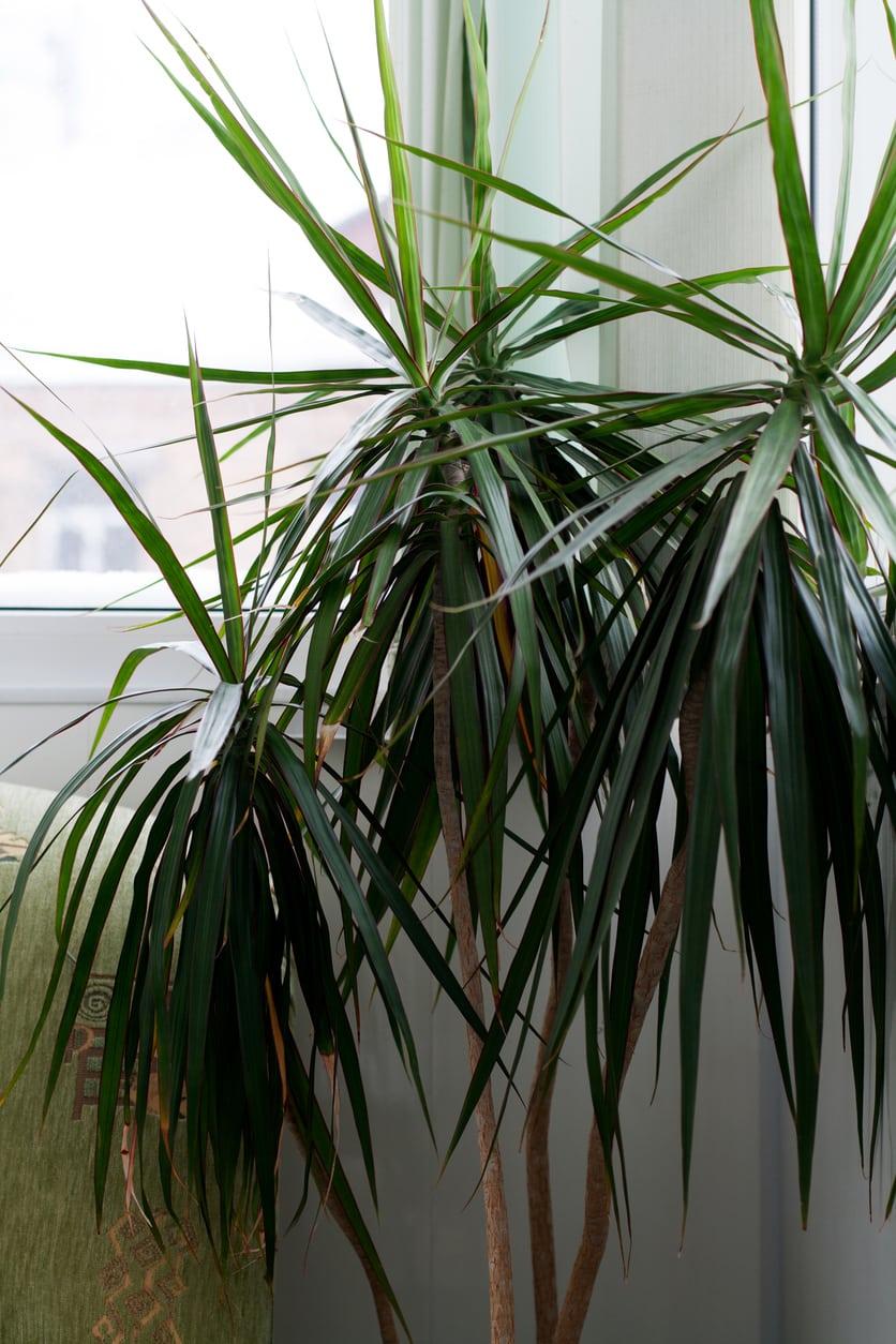 Tips For Overwintering Dracaena Plants
