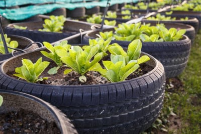 Growing Vegetables In Tires Is It Safe To Grow Food In Tires