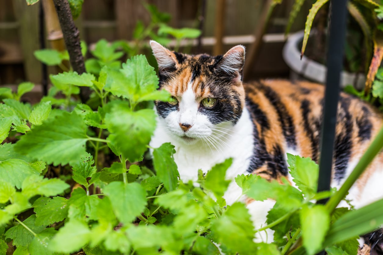 Catnip Vs. Catmint – Learn The Difference Between Catmint And Catnip Plants