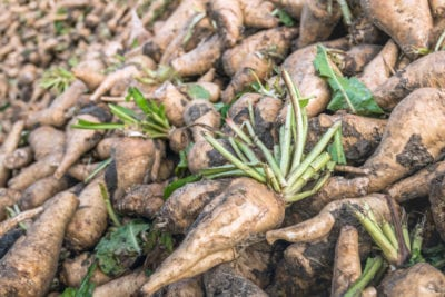 Harvesting Chicory Plants How And When To Harvest