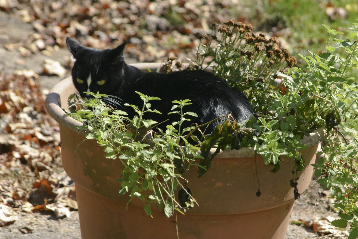Potted Catnip Plants How Care For Container Grown