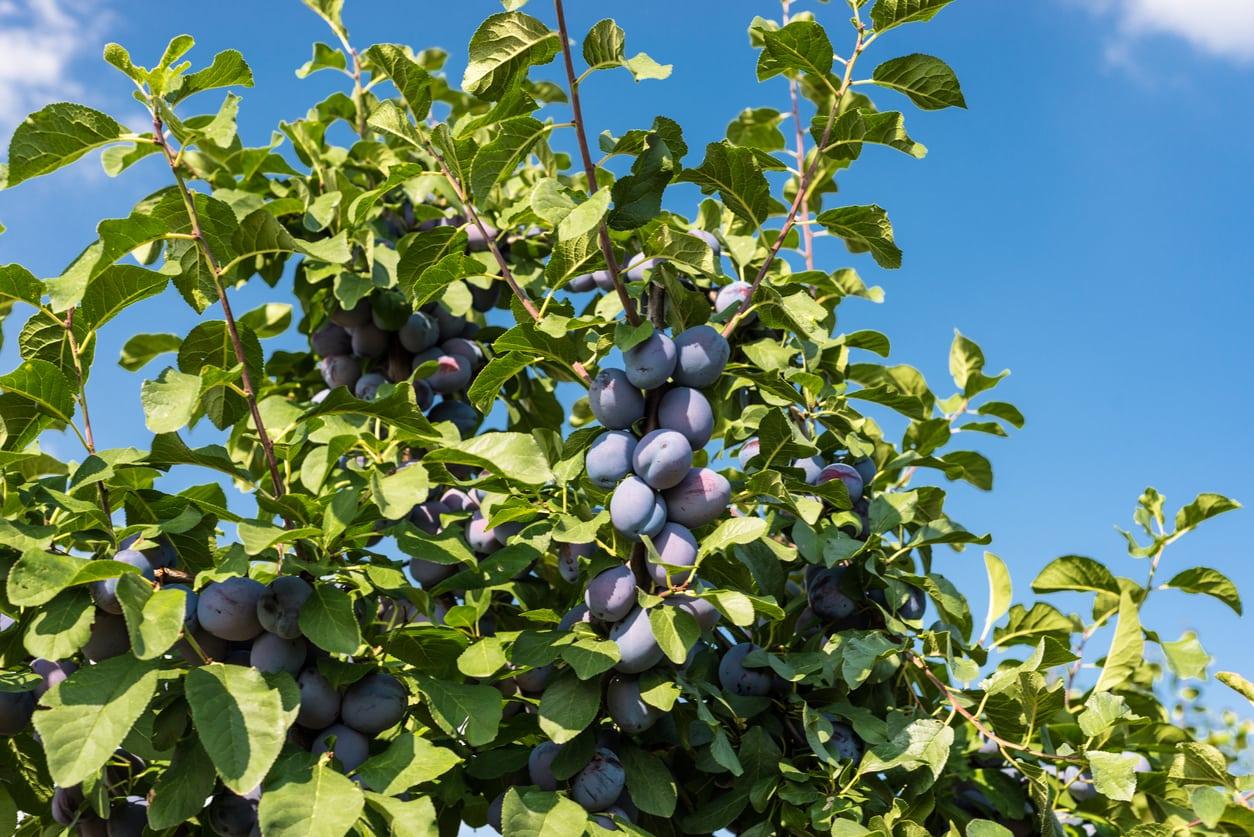 Czar Plum Tree Care Growing Plums In Home Gardens