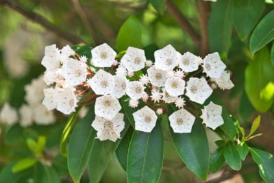 how to grow mountain laurel from cuttings