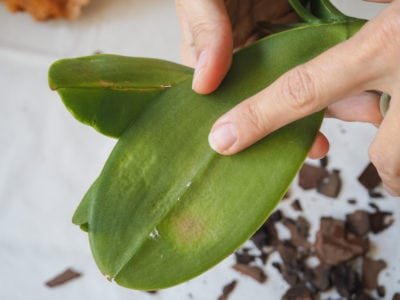 My Orchid Leaves Are Sticky Treating An Orchid With Sticky Leaves