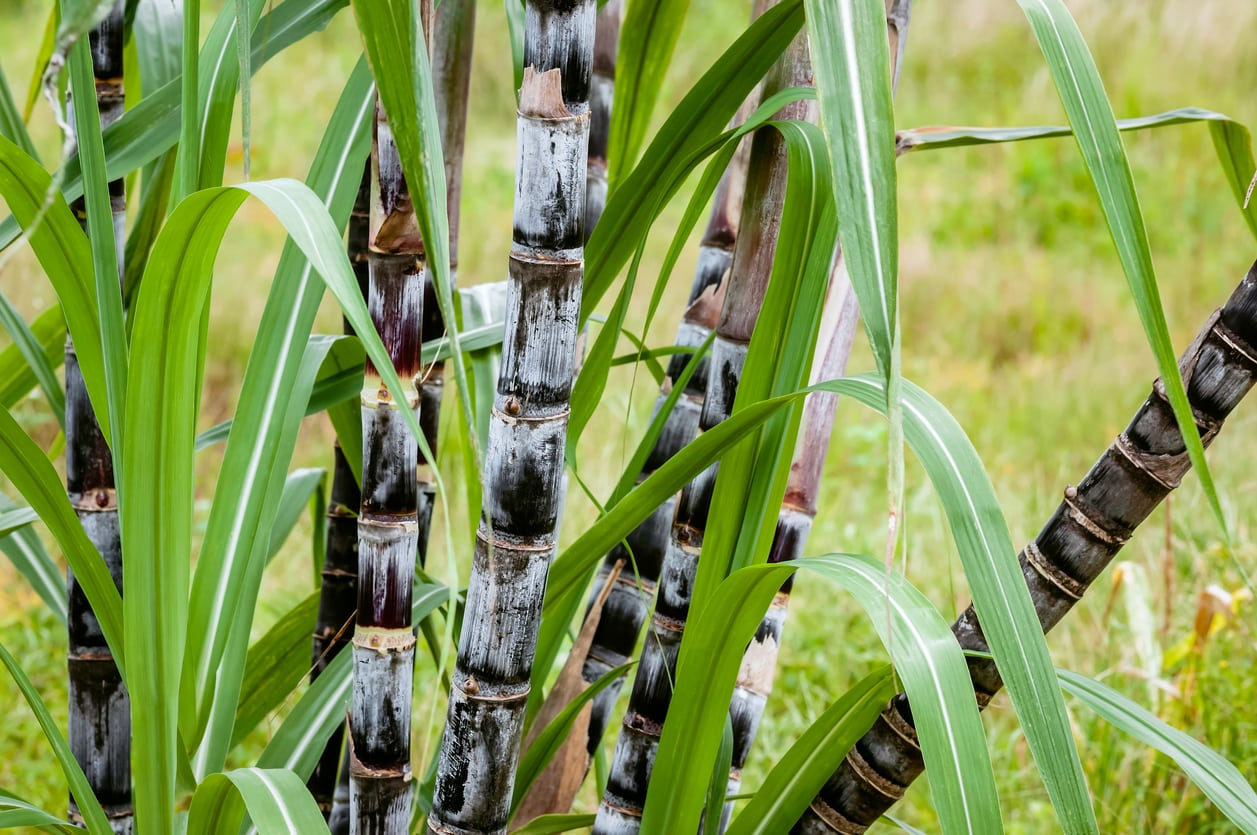 Sugarcane For Cool Climates Learn