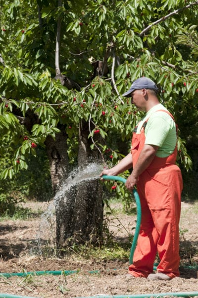 Tips Information About Cherry Trees Gardening Know How