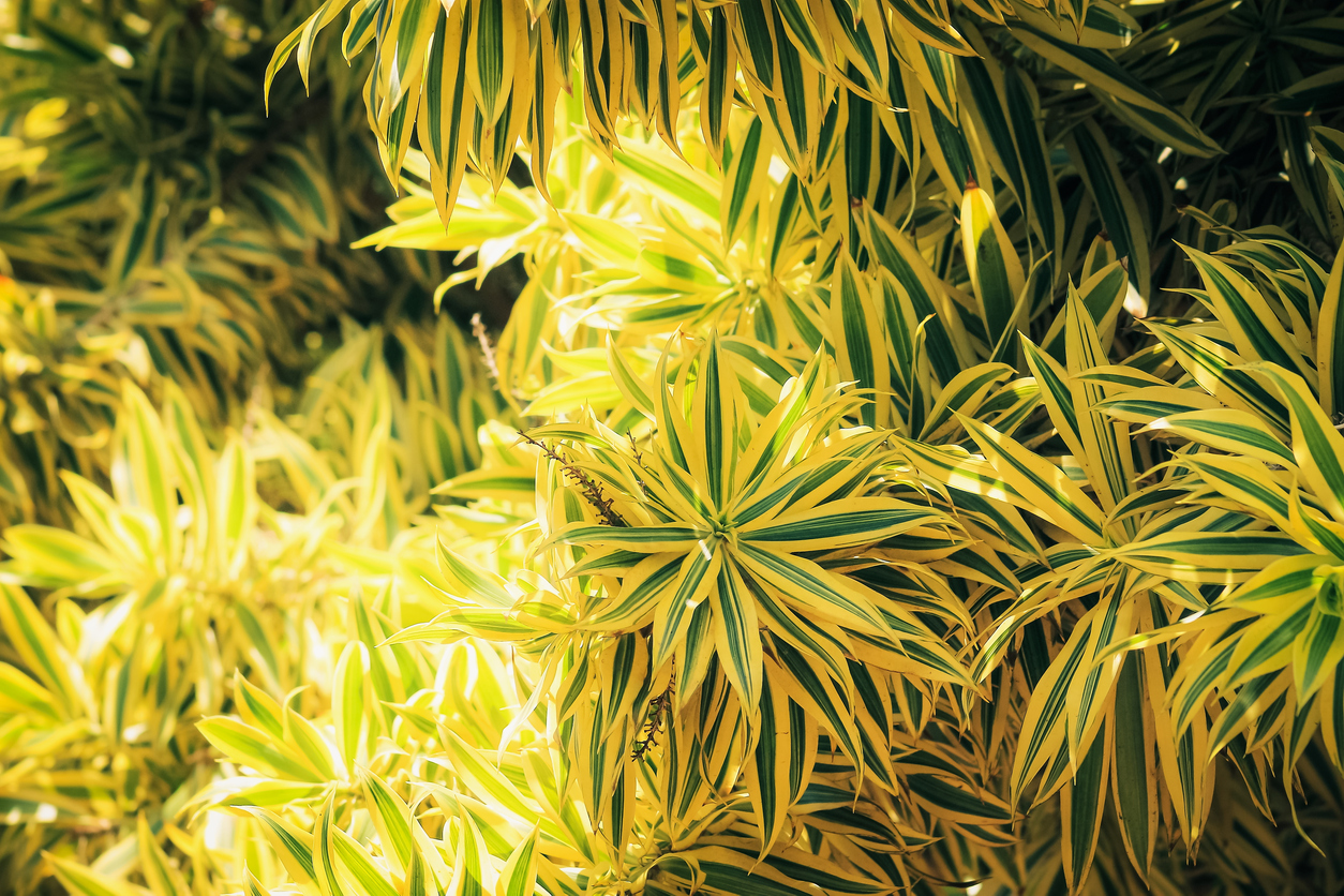 Song Of India Plant Care: Learn About Growing A Variegated