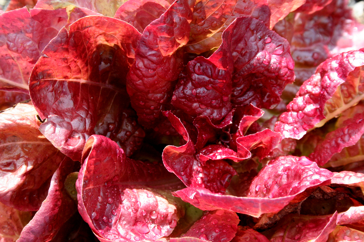 Red lettuce plants