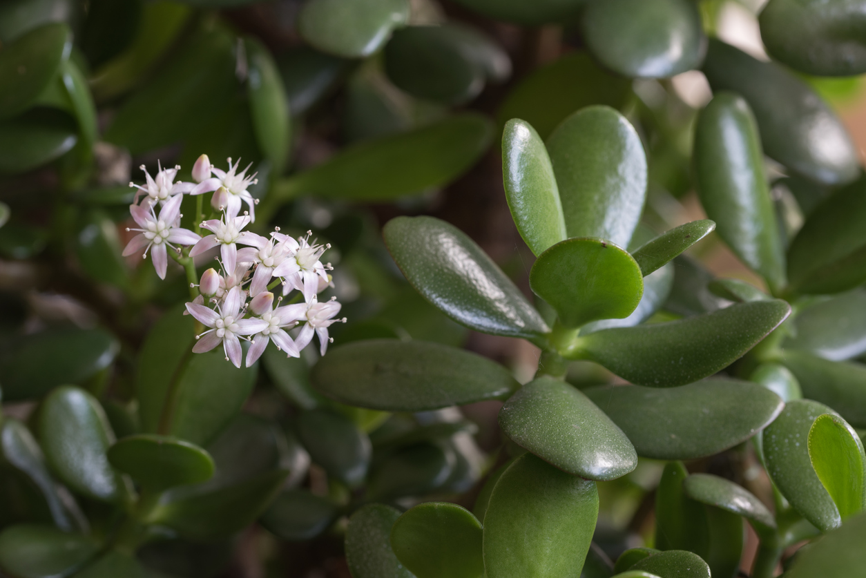 Outdoor Jade Plant Care Learn About Growing Jade Outside