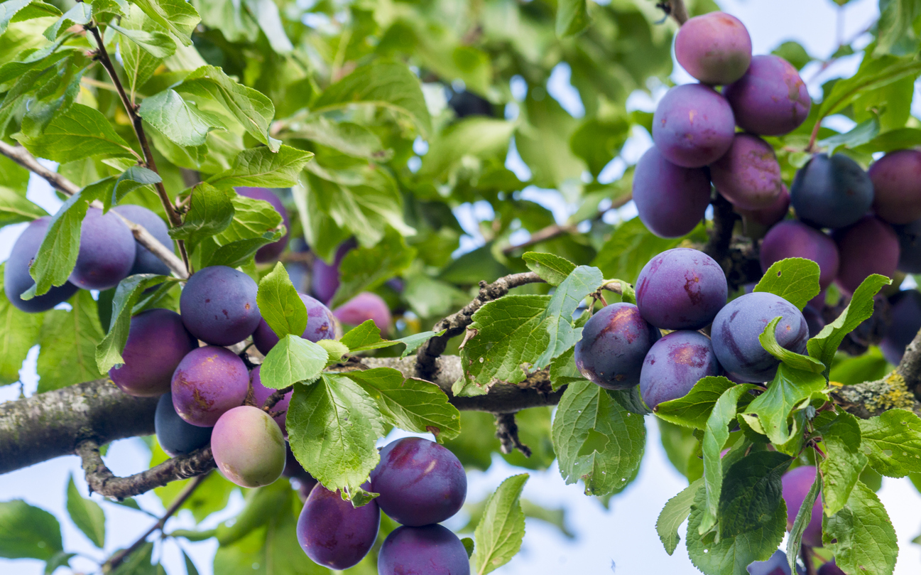 Plum President Variety Growing Conditions For Fruit