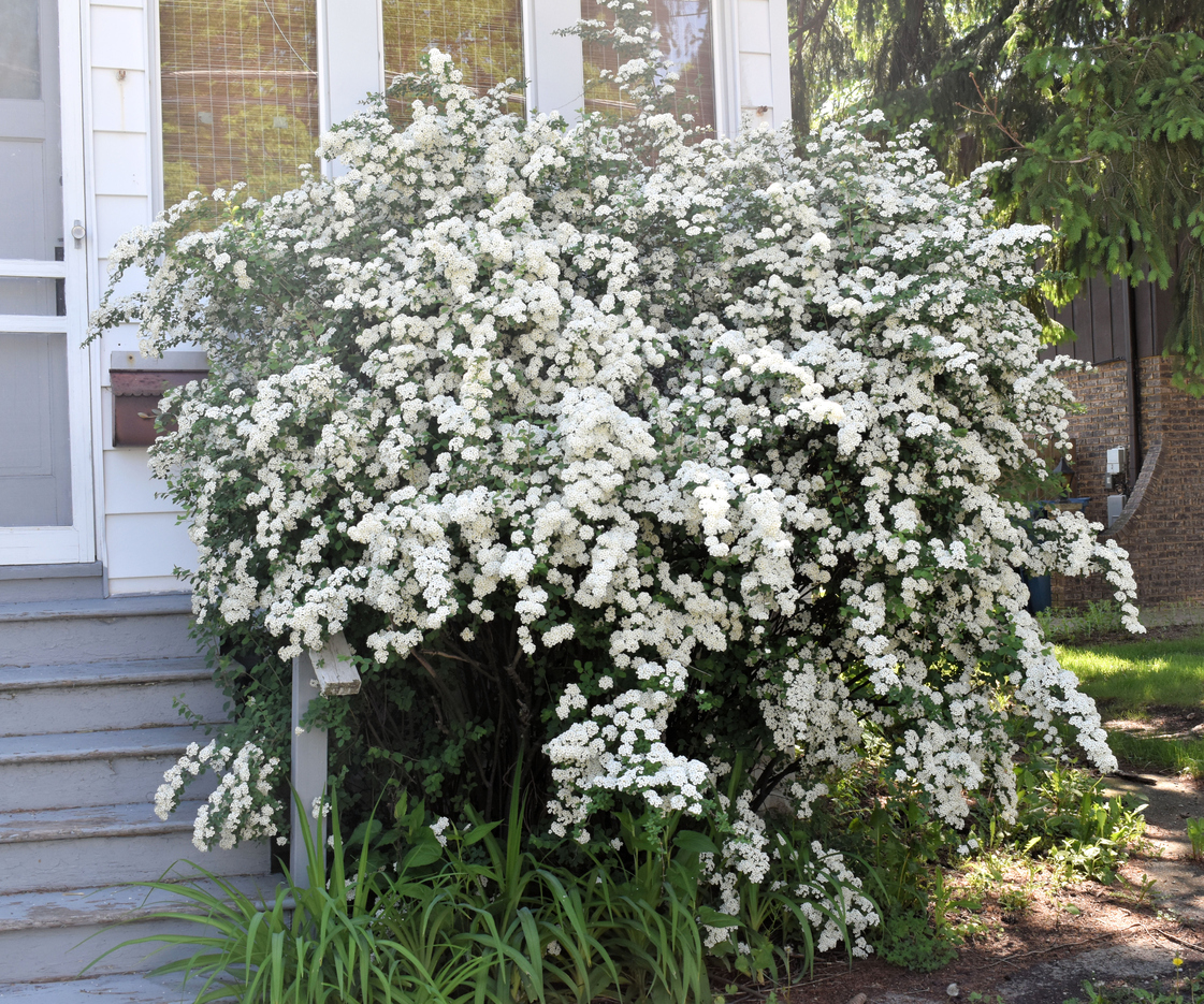 Different Types Of Spirea Bush What Are Some Popular
