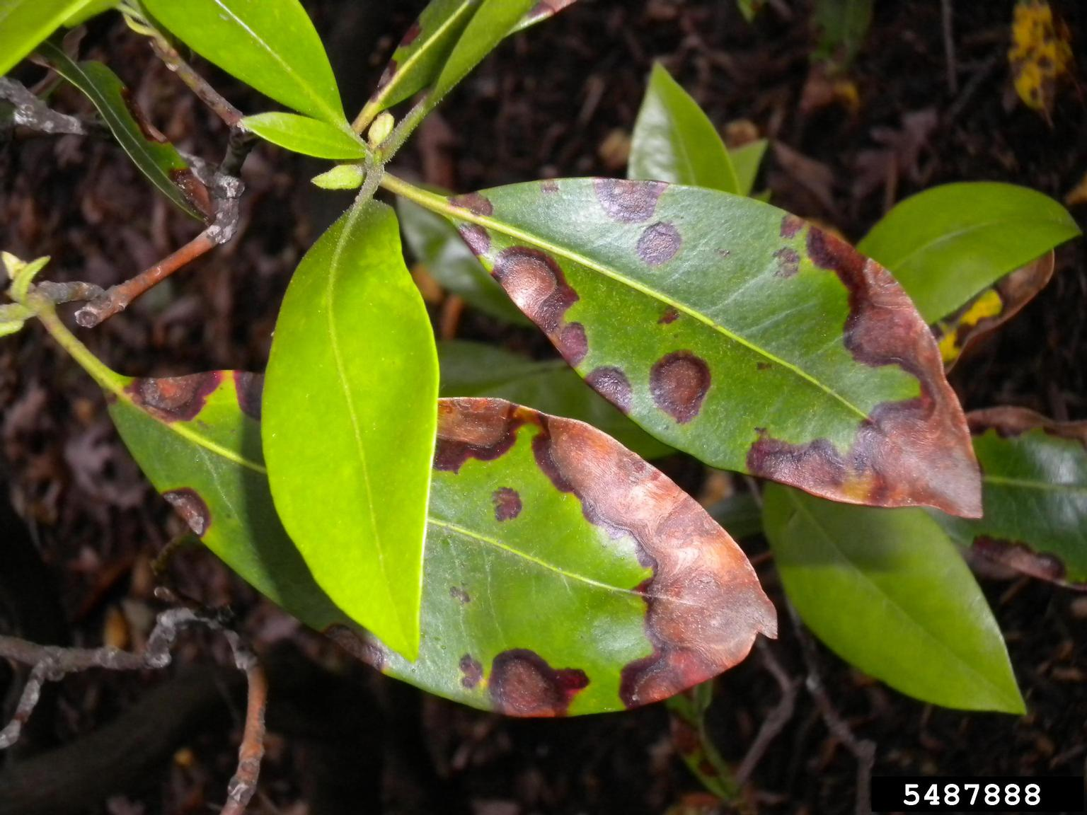 Why Are My Mountain Laurel Leaves Brown Reasons For Brown Leaves On Mountain Laurels