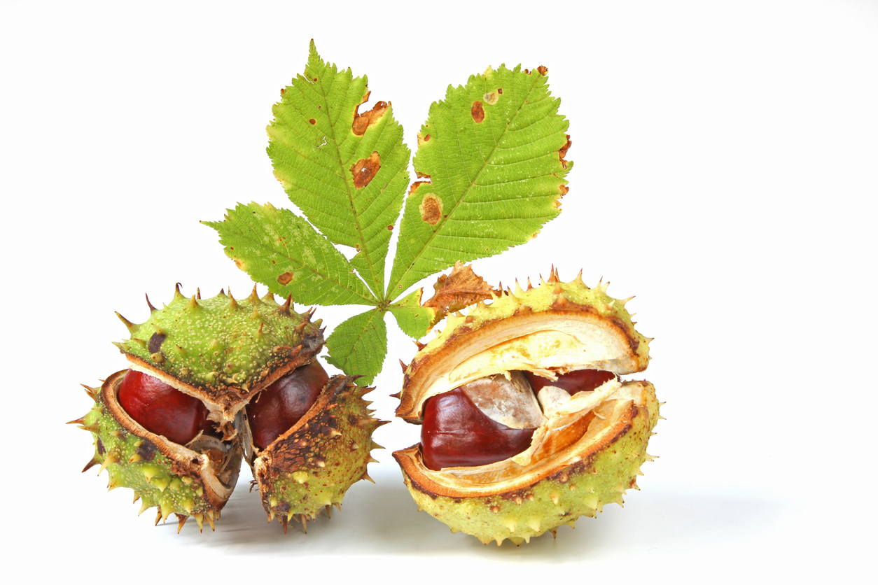 Horse Chestnut Benefits – Using Horse Chestnut Trees And Conkers