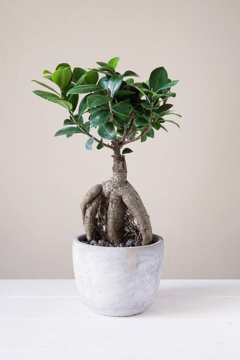 Ginseng Ficus Bonsai Care Growing Ginseng Ficus As A Bonsai Tree