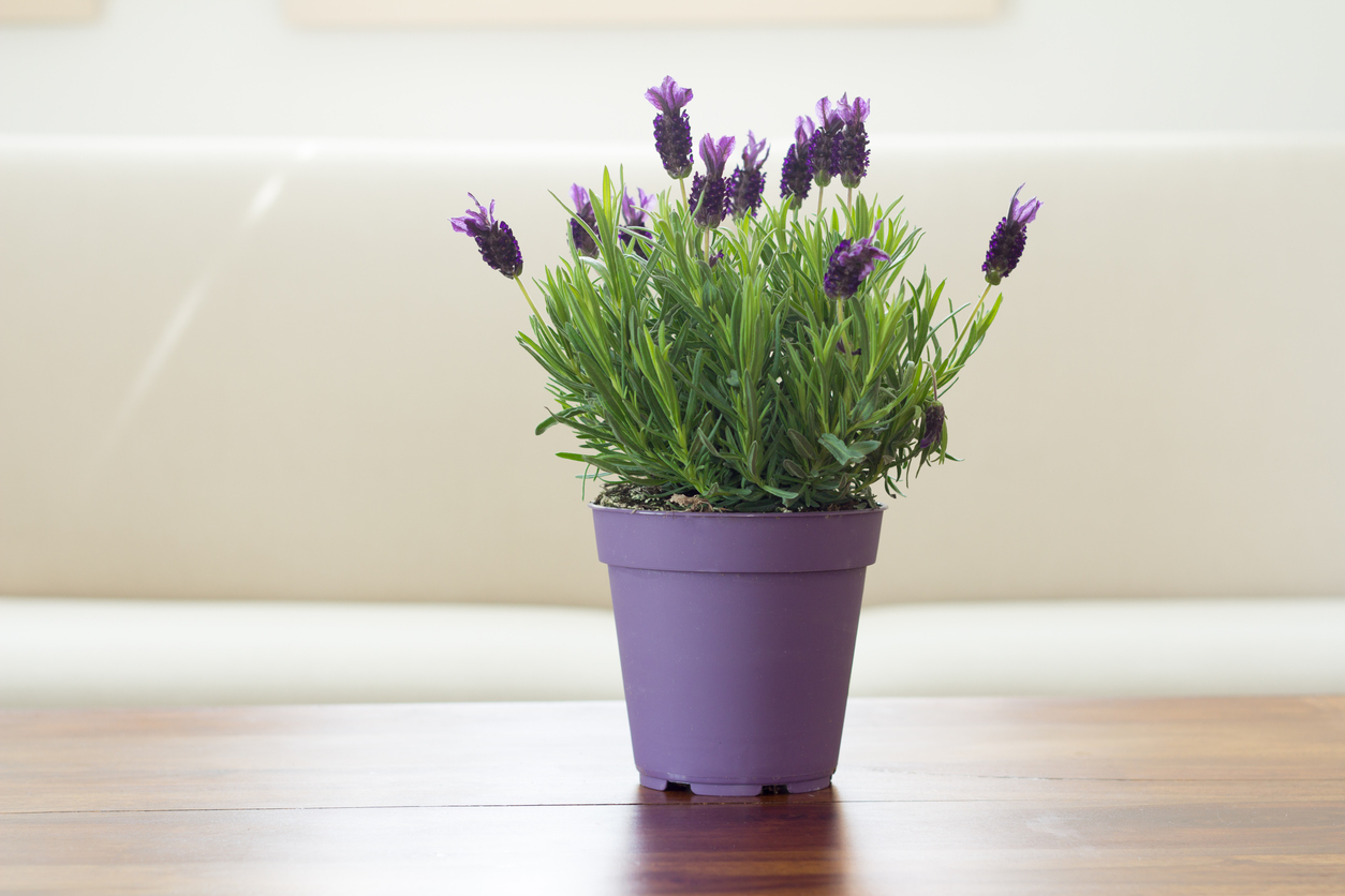 Learn About Growing Lavender Plants