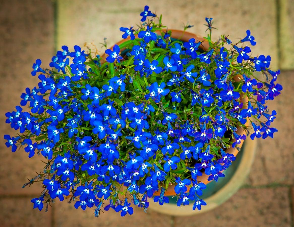 Resistencia al invierno de Lobelia: aprenda a invernar las plantas de Lobelia