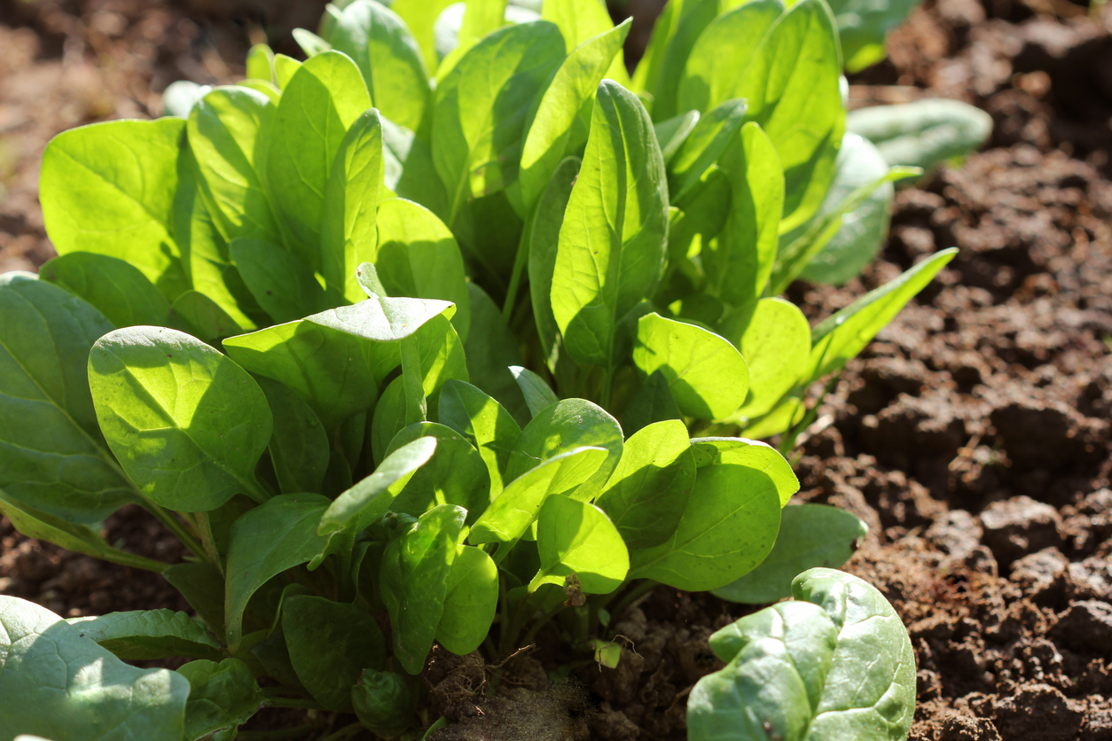 Spinach Plant Types Learn About Different Kinds Of Spinach Plants