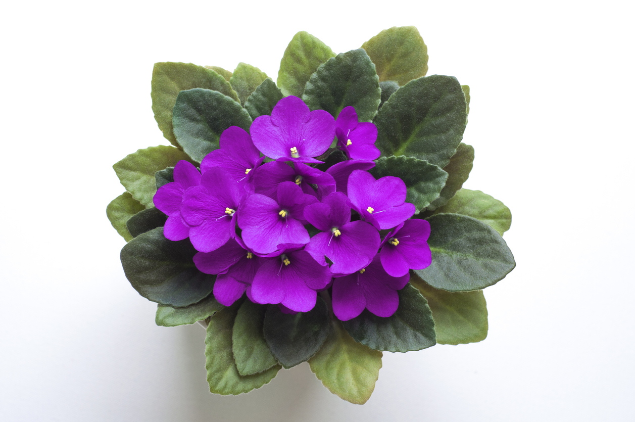 How To Make African Violets Bloom Reasons Your African Violet Won T Flower